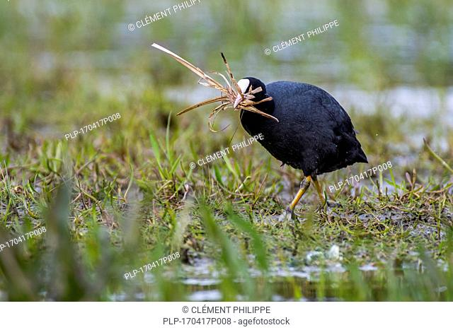 Eurasian coot (Fulica atra) in wetland collecting nesting material like grass blades for nest building in the breeding season