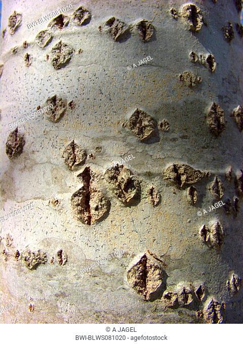 white poplar, silver-leaved poplar, abele Populus alba, bark, Spain, Balearen, Majorca