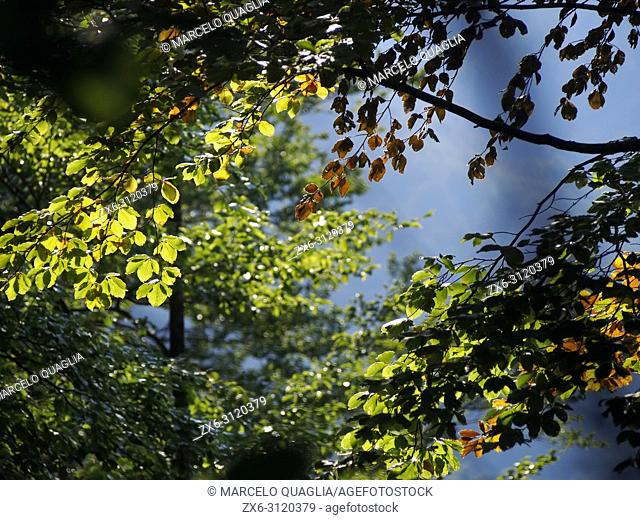 Backlit beech forest leaves. Montseny Natural Park. Barcelona province, Catalonia, Spain