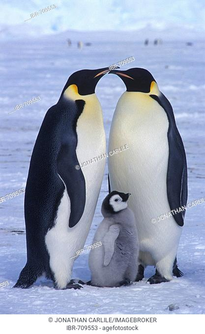 Emperor Penguins and chick (Aptenodytes forsteri)