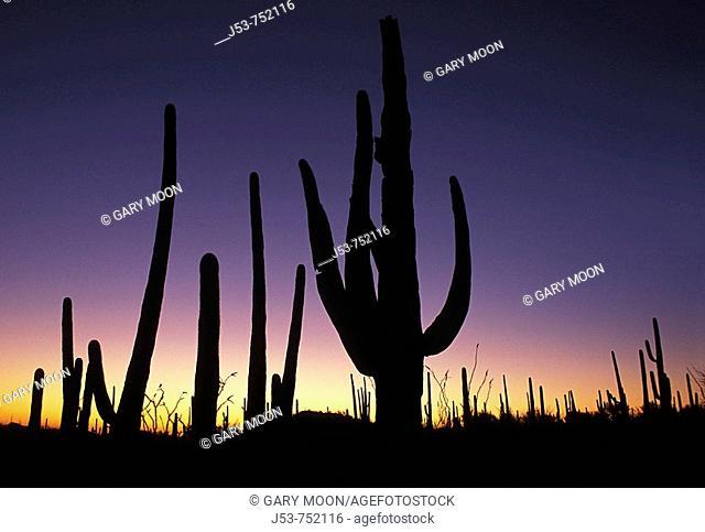 Saguaro cacti at sunset, Saguaro National Park, Tucson Mountain District west unit, Tucson Arizona