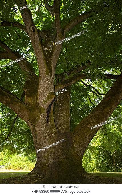Black Walnut Juglans nigra ancient tree, Willamette Mission State Park, Oregon, U S A