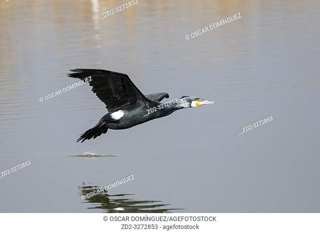 Great Cormorant (Phalacrocorax carbo) in flight. Areas of the Llobregat Delta. Barcelona province. Catalonia. Spain