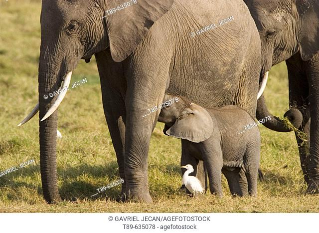 Elephants (Loxodonta africana). Few weeks old baby elephant and mother