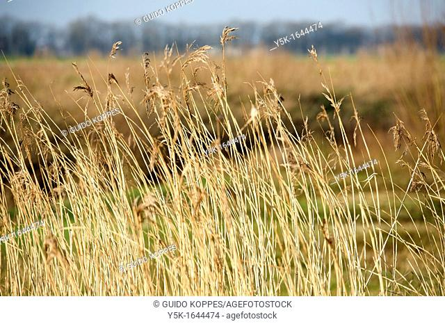 Rijen, Netherlands. Reed collar on a heath-field in a protected nature conservation area, near Tilburg, Netherlands