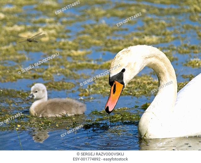 Little swan with parent