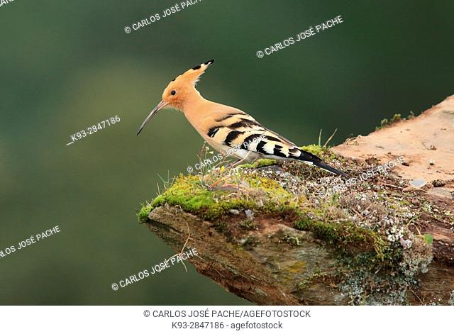 Eurasian hoopoe (Upupa epops). Parque Nacional de Monfragüe, Extremadura, Spain