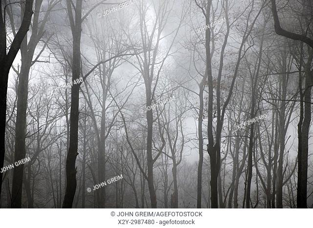 Winter forest shrouded in mist, North Carolina, USA