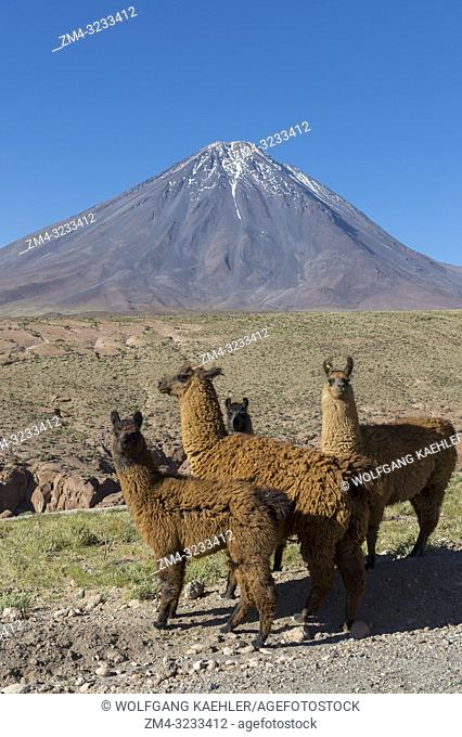 Llamas with Licancabur volcano, 5,920 m (19,423 ft), in background, which is a highly symmetrical stratovolcano on the southernmost part of the border between...