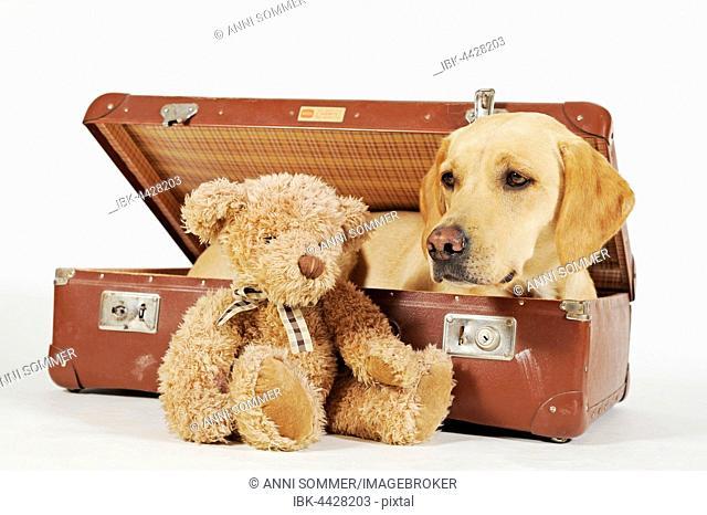 Labrador Retriever, yellow, dog in suitcase, teddy bear