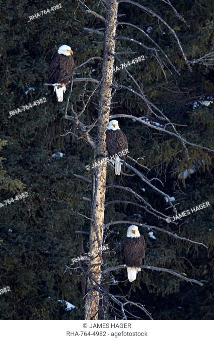 Three bald eagle (Haliaeetus leucocephalus) in an evergreen tree, Yellowstone National Park, Wyoming, United States of America, North America