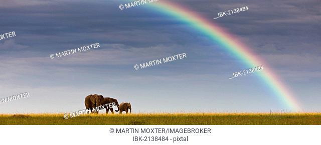 African elephants (Loxodonta africana) on the horizon, rainbow, Masai Mara National Reserve, Kenya, East Africa, PublicGround