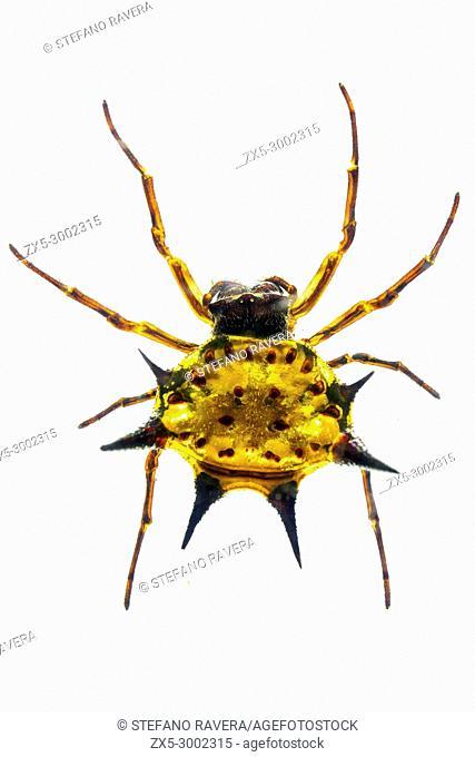 Spiny Orbweaver Spider in resin - Zambia
