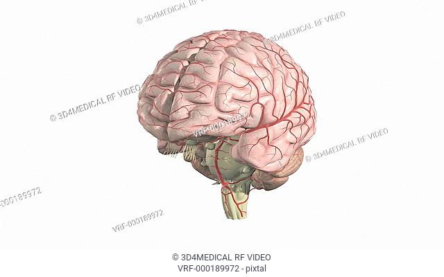 An animation of the brain. The camera zooms in to show the surface anatomy of the brain. The arteries of the brain are also included