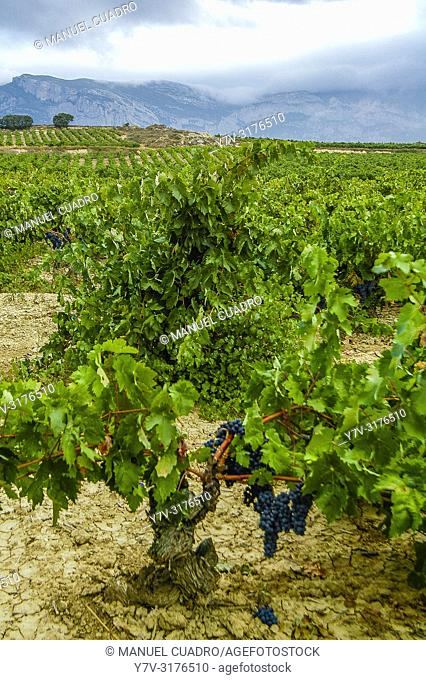70 year old vineyard, Laguardia area, Rioja Alavesa, Basque Country, Spain
