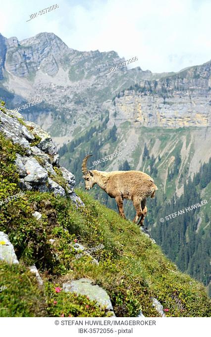 Alpine Ibex (Capra ibex), Bernese Oberland, Canton of Bern, Switzerland