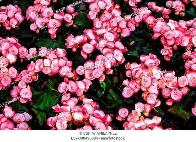 Linked White Pink Begonia