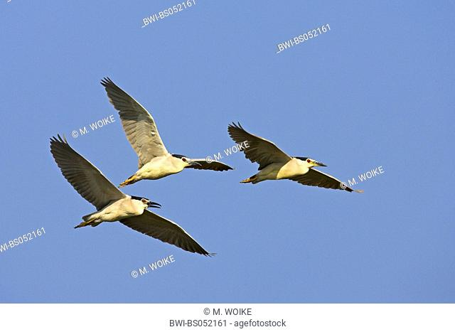black-crowned night heron (Nycticorax nycticorax), flying flock, Greece, Thrace, Evros-Delta