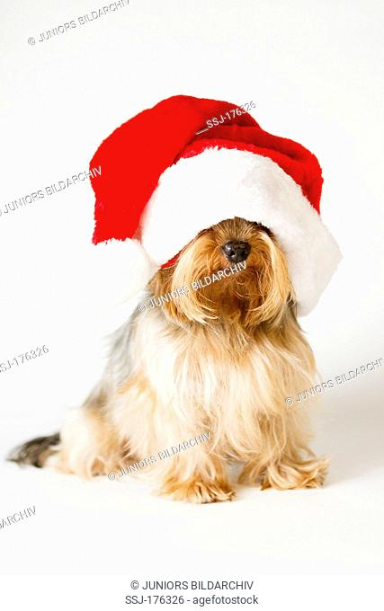 Yorkshire Terrier with Santa Claus hat sitting. Studio picture against a white background