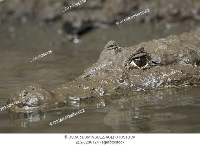 Spectacled Caiman (Caiman crocodilus) portrait. Puerto Viejo river. Heredia province. Costa Rica