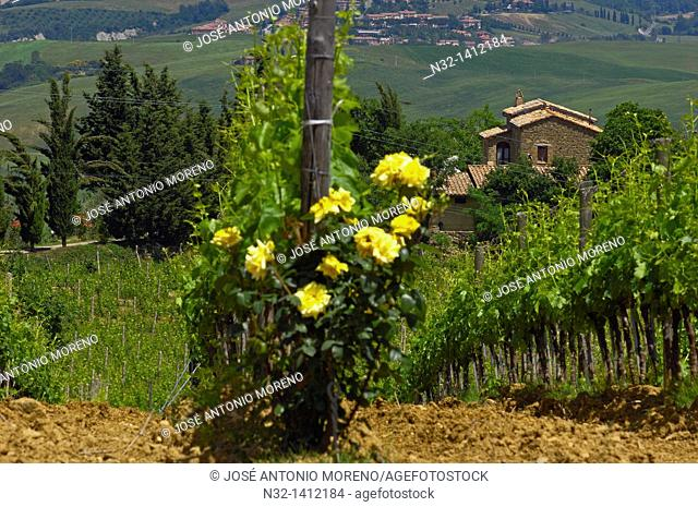 Montalcino, Vineyards, Val d'Orcia, Orcia Valley, UNESCO World Heritage Site, Siena Province, Tuscany, Tuscany landscape, Italy