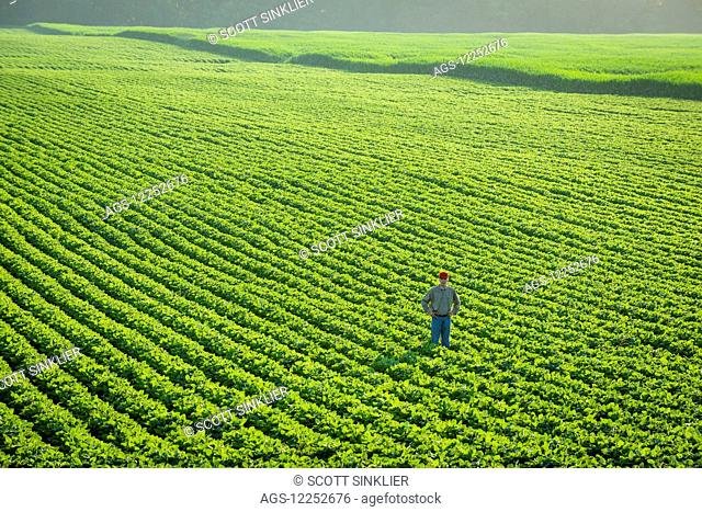 Portrait of a farmer walking through a large green soybean field in central Iowa in summer; Iowa, United States of America