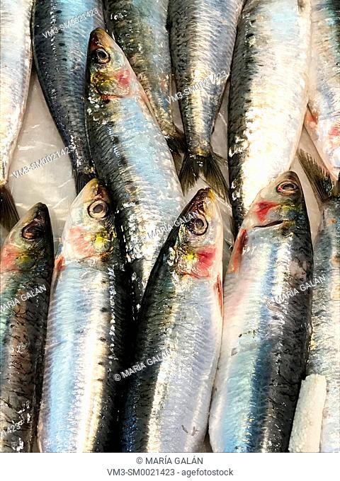 Sardines, close view