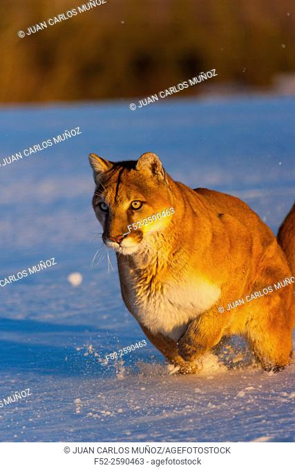 Cougar (Puma concolor), also commonly known as the mountain lion, puma, panther, or catamount. Colorado, Usa