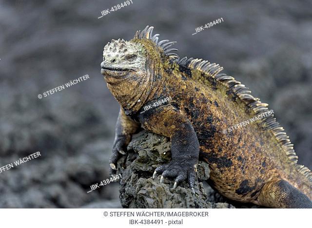 Galápagos marine iguana (Amblyrhynchus cristatus) on lava rock, portrait, Isabela Island, Galápagos, Ecuador