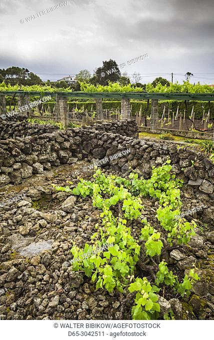 Portugal, Azores, Terceira Island, Biscoitos, vineyard in volcanic rock
