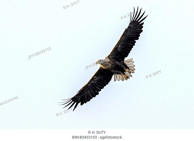 white-tailed sea eagle (Haliaeetus albicilla), adult in flight, Germany, Mecklenburg-Western Pomerania