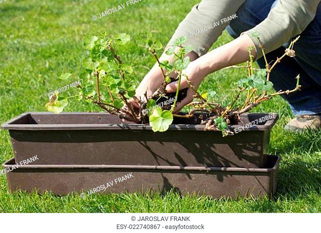 Transplanting geraniums in a pot
