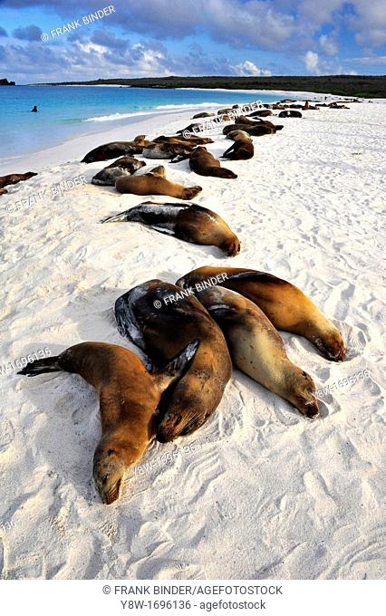 Sea Lions in the Galapagos Islands, Gardner Bay