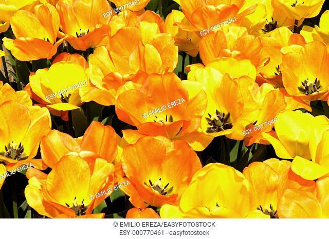 Lisse Holland Tulips Tulipa hybr