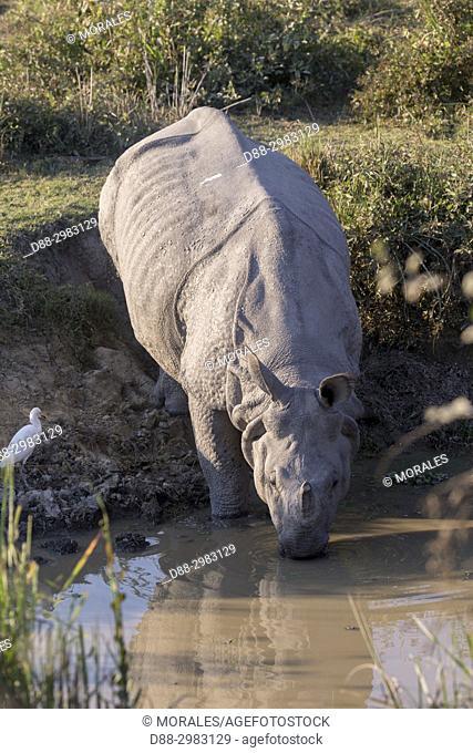 India, State of Assam, Kaziranga National Park, Asian One-horned rhino or Indian Rhinoceros or Greater One-horned Rhinoceros (Rhinoceros unicornis)