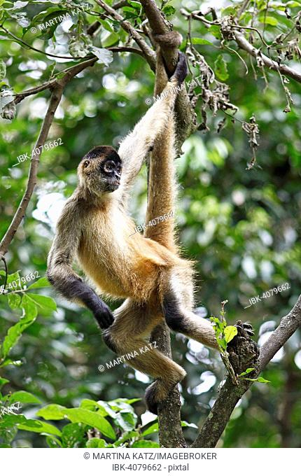 Central American Spider Monkey or Geoffroy's Spider Monkey (Ateles geoffroyi), climbing on a tree, Alajuela province, Costa Rica