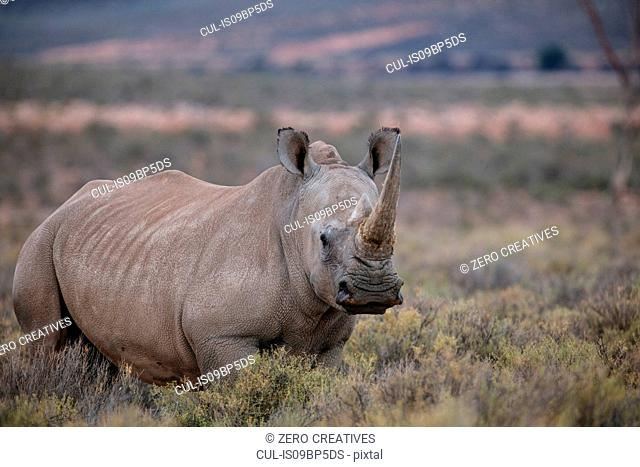 White rhinoceros (Ceratotherium simum), Touws River, Western Cape, South Africa