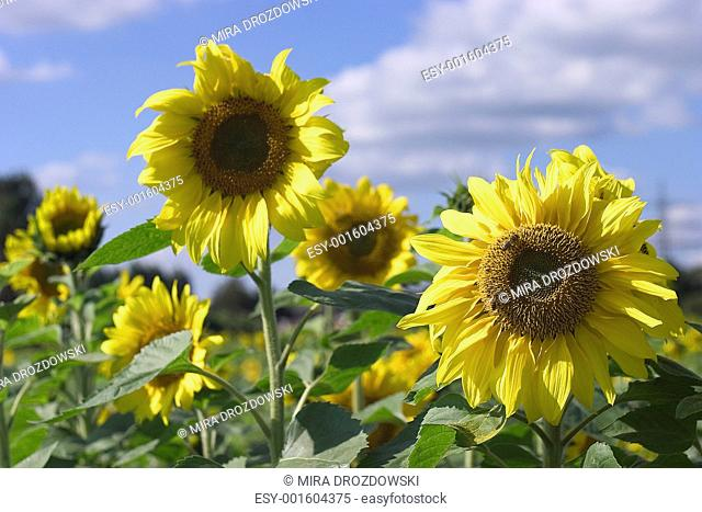 sunflower on the beautiful background