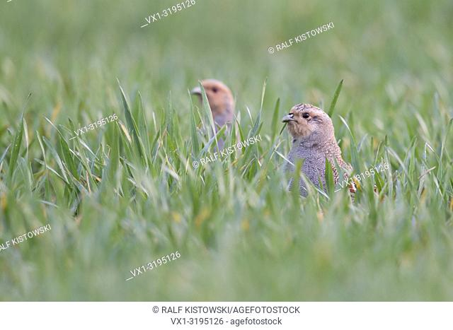 Grey Partridges (Perdix perdix), hiding in a field of winter wheat, stretching their necks, watching curious, early in the morning, wildlife, Europe