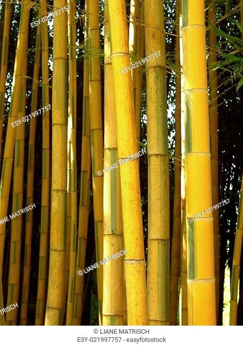 Bambus 06