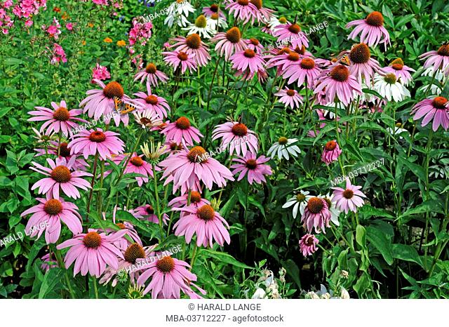 purple coneflower in the summery cottage garden