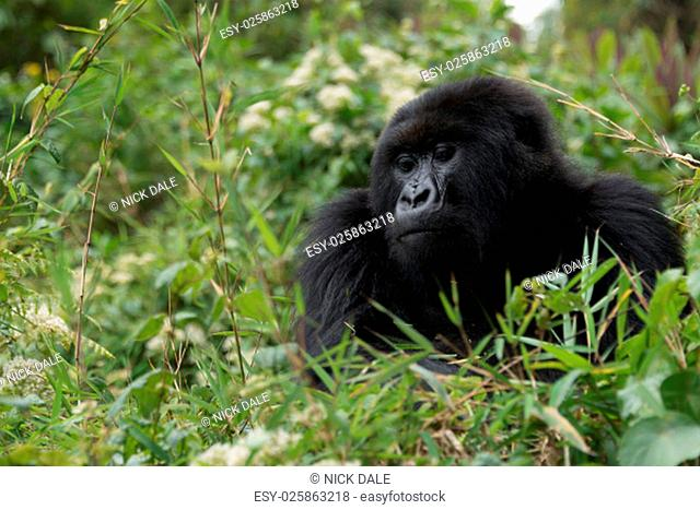 A gorilla looks down from the top of a bush. Only its head and chest can be seen in the dense green undergrowth of the forest