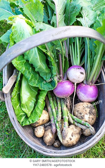 Trug of freshly harvested garden produce, Turnip 'sweetball', Asparagus, Spring cabbage, 'Greyhound' and Early potatoes 'pentland javelin'