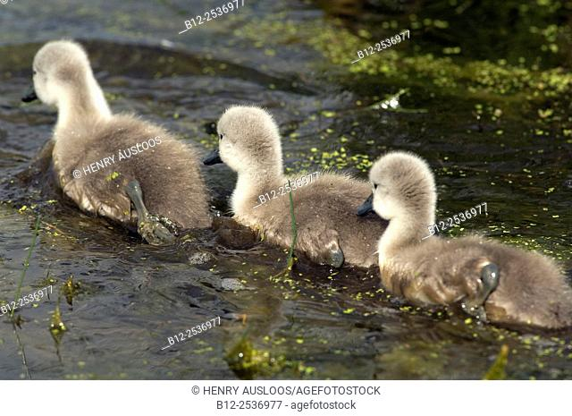 Mute Swan - cygnets - Cygnus olor - France