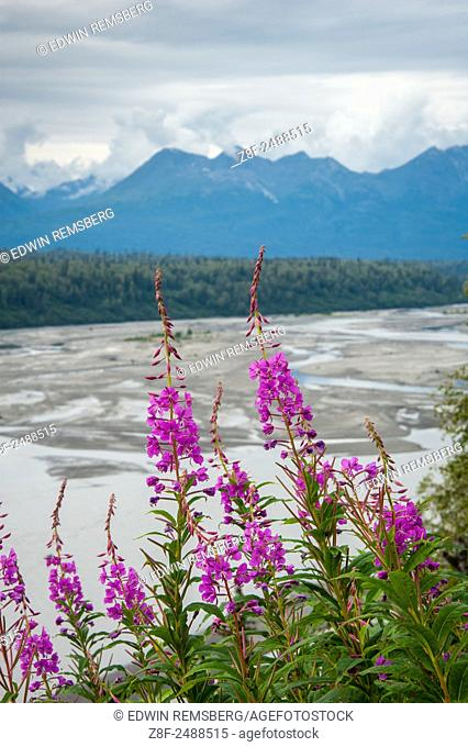Fireweed (Epilobium angustifolium) growing off of Parks Highway, Alaska, near the Susitna River