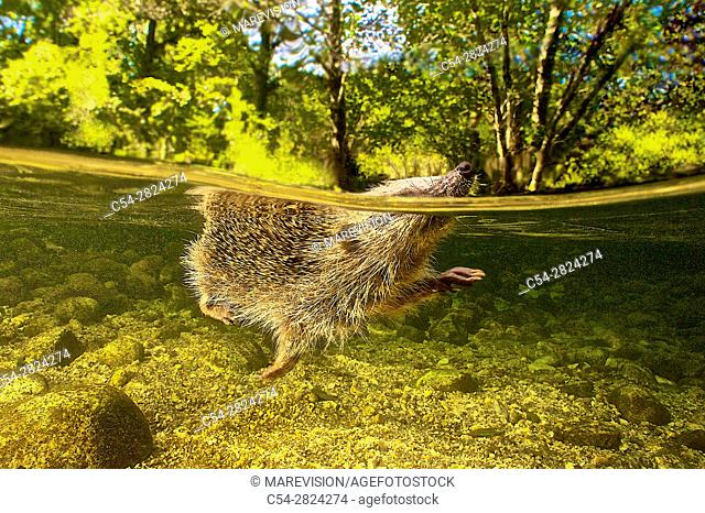 Western European hedgehog. Western Hedgehog. Northern Hedgehog (Erinaceus europaeus). Alen river. Covelo. Pontevedra. Spain. Europe