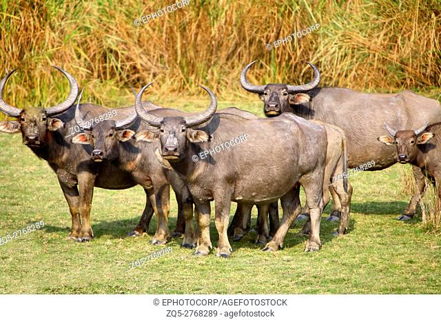 A herd of Wild buffalos (Bubalus arnee) at Kaziranga National Park Assam India