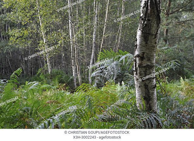 fern under birch trees, Forest of Rambouillet, Haute Vallee de Chevreuse Regional Natural Park, Department of Yvelines, Ile de France Region, France, Europe