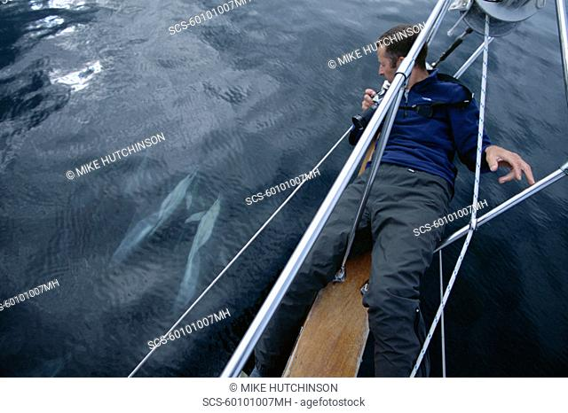 Scientist lying on 10ft long bowsprit of research yacht, Silurian, to photo-identify common dolphins Hebrides, Scotland
