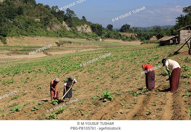 Zoom cultivation at Thanchi Bandarban, Bangladesh December 2009